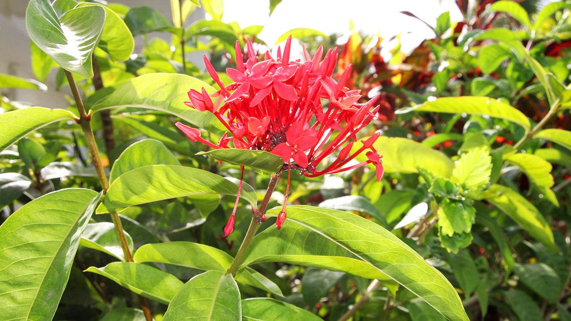 Fleur du jardin - Villa Caraïbes - Location de villas et maisons en Guadeloupe - www.villacaraibes.fr