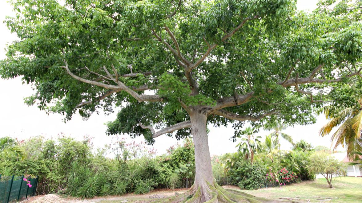 L'arbre magique - Villa Caraïbes - Location de villas et maisons en Guadeloupe - www.villacaraibes.fr
