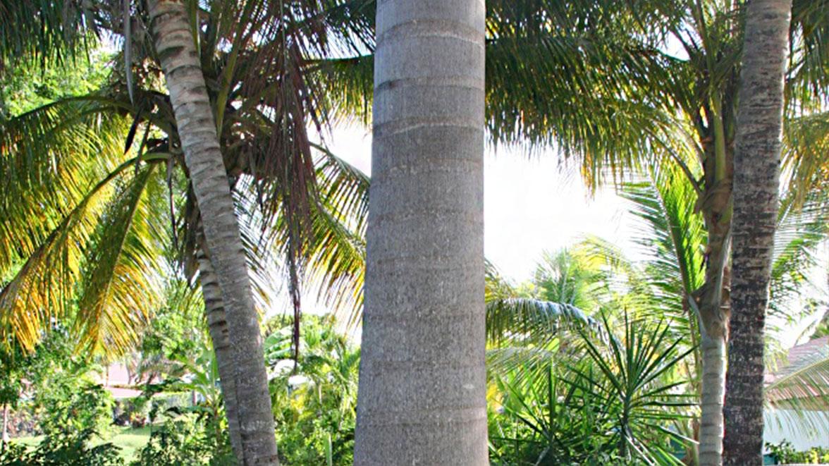 Palmiers royaux dans le parc - Villa Caraïbes - Location de villas et maisons en Guadeloupe - www.villacaraibes.fr